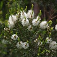 Benefits of Tea Tree Hydrosol